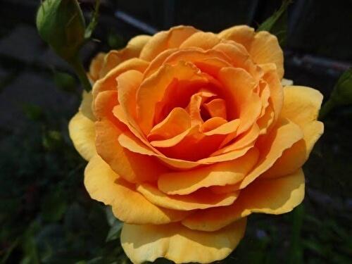 Ашрам роза - описание и характеристики сорта, как вырастить в своем саду, рекомендации ��