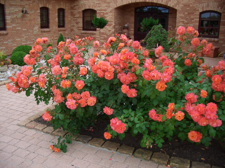 Что означает роза шраб