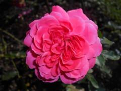 Роза плетистая белая с розовой каймой